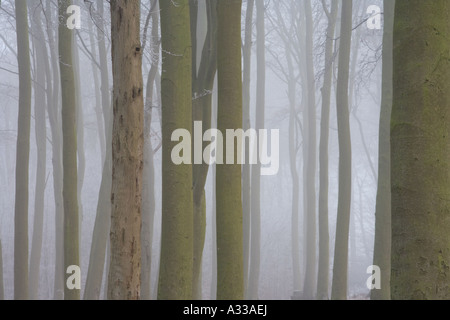 Misty cold morning in a Beech wood in winter, tree trunks looming out of the mist. - Stock Photo