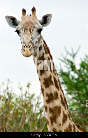 Masaai Giraffes (Giraffa Camelopardalis tippelskirchi) in Mikumi National Park, Tanzania, Africa - Stock Photo