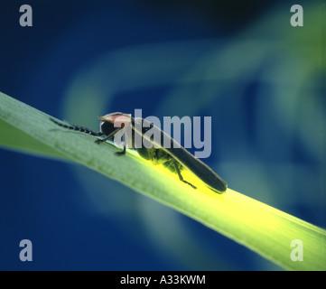 LIGHTNING BUG; FIREFLY; COMMON EASTERN FIREFLY (PHOTINUS PYRALIS) ADULT ON GRASS; BIOLUMINESCENCE - Stock Photo