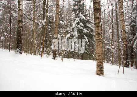 Norway, Oslo, Oslo City.  Snow covered trees in Oslo forest, near Bogstad camping in Oslo city. - Stock Photo