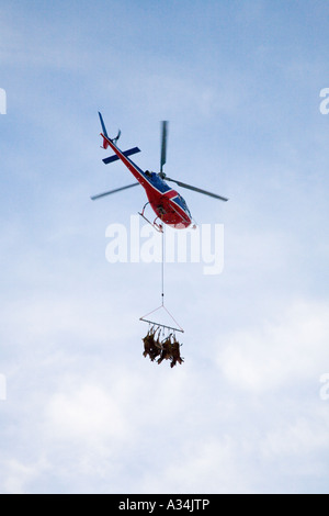Animal Management and culling; Helicopter transporting  red deer carcasses after National Trust deer cull, Braemar, - Stock Photo