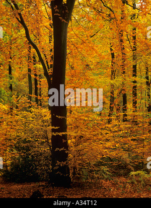 Autumn foliage on trees in Beech Wood Fagus sylvatica in English countryside woods in November Alice Holt Forest - Stock Photo