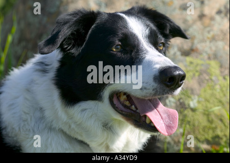 Portrait of a Purebred Border Collie Dog Model released image - Stock Photo