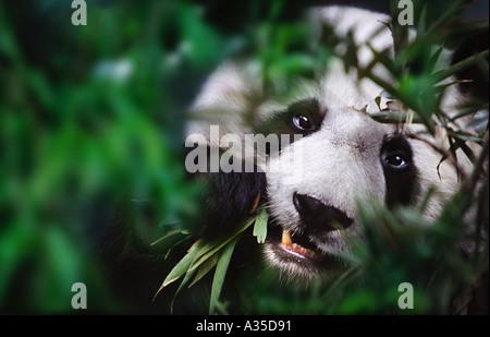 Giant panda eating bamboo Sichuan China - Stock Photo