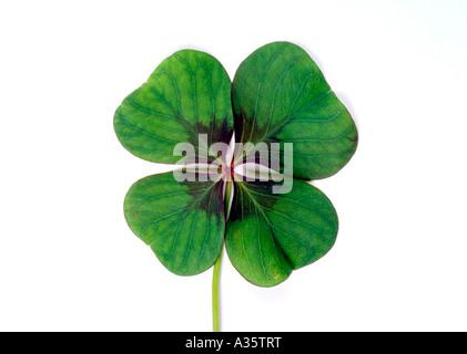 Vierblaettriges Kleeblatt, four leafed clover - Stock Photo