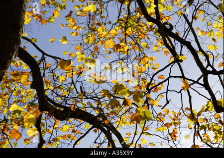 deciduous sycamore trees showing autumn colours against a blue sky in st Stephens Green Dublin City Centre - Stock Photo