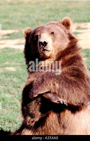 Kodiak Bear aka Alaskan Grizzly Bear and Alaska Brown Bear (Ursus arctos middendorffi) with Folded Arms - North - Stock Photo