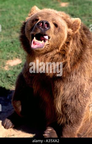 Kodiak Bear aka Alaskan Grizzly Bear and Alaska Brown Bear (Ursus arctos middendorffi) snarlng - North American - Stock Photo