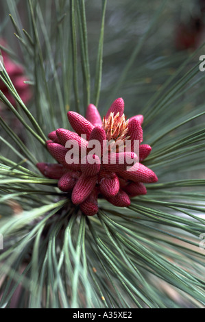 Pollen Cones and Needles on a Ponderosa Pine (Pinus ponderosa) Tree, British Columbia, Canada - Stock Photo