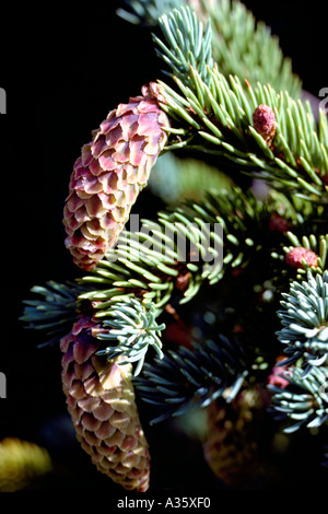 Seed Cones on Sitka Spruce Tree (Picea sitchensis), BC, British Columbia, Canada - Stock Photo