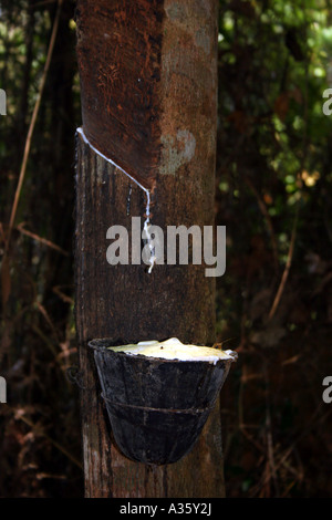 Latex dripping into a cup from cuts in the bark of a rubber tree in Malaysia - Stock Photo