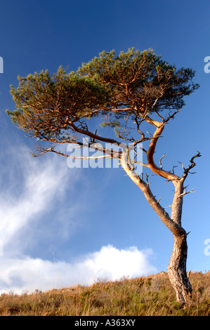 Lone Isolated Pine tree  XPL 4470-423 - Stock Photo