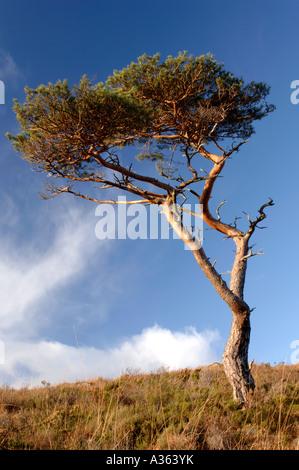 Lone Isolated Pine tree  XPL 4471-423 - Stock Photo