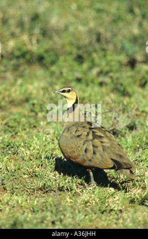 Yellow Throated Sandgrouse Pterocles gutturalis walking on the ground in the Serengeti Tanzania East Africa - Stock Photo