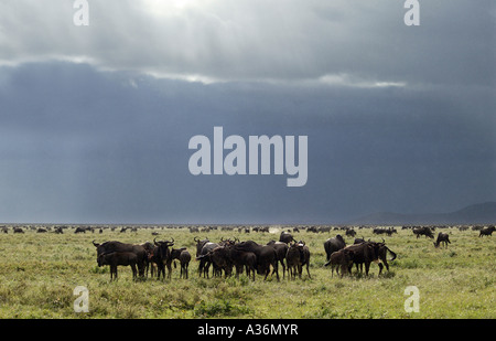 Wildebeest (Connochaetes taurinus) grazing on short grass plains, Serengeti National Park, East Africa - Stock Photo