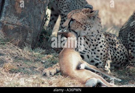 An adult female cheetah asphyxiating a baby Thomson s Gazelle in the Masai Mara National Reserve Kenya East Africa - Stock Photo
