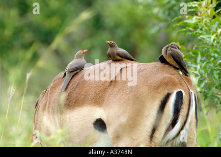 Red billed oxpeckers feeding off ticks on the back of an impala in the Hluhluwe-Umfolozi National Park in South - Stock Photo