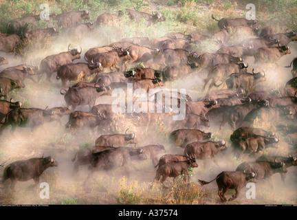 Buffalo herd from the air Okavango Botswana - Stock Photo