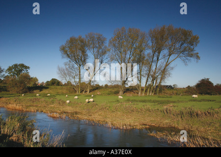 Sheep grazing on the banks of the river Great Ouse. Typical rural England, taken at Radwell, Bedfordshire, UK. Landscape. - Stock Photo