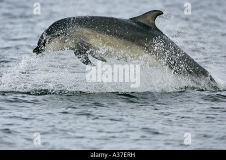 A wild Bottlenose dolphin Tursiops truncatus breaching from water with a captured Salmon in it s jaws Moray Firth, - Stock Photo