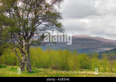 Silver Birch regeneration in Braemar Mar Estate Cairngorms National Park Braemar area, Scotland uk - Stock Photo