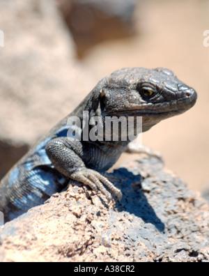 Gallotia galloti,  wall lizard endemic to Tenerife - Stock Photo