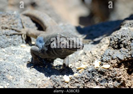 Southern Tenerife lizard (Gallotia galloti galloti) - Stock Photo