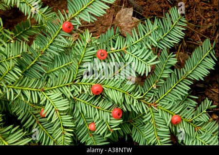 Pacific Western Yew, elliptical seeds 1/4' long, enclosed in scarlet cups. California - Stock Photo
