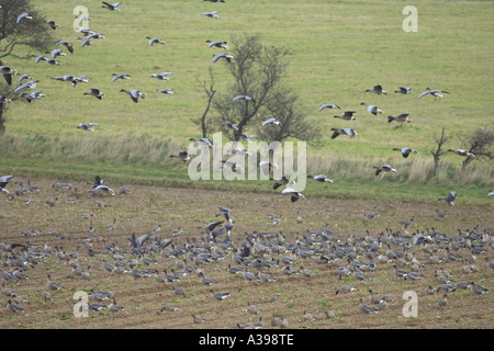 Pink footed geese Anser brachyrhynchus flock landing in sugar beet field Norfolk England November 2005 - Stock Photo