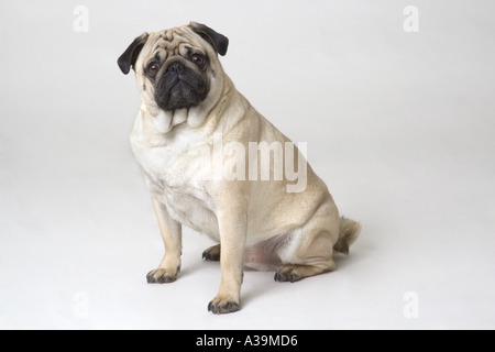Portrait of sitting pug dog - Stock Photo