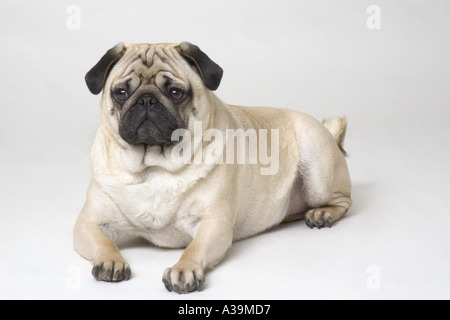 Portrait of a pug dog - Stock Photo