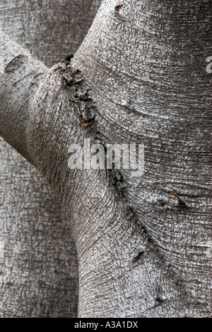 Roundleaf Beech Tree - Stock Photo