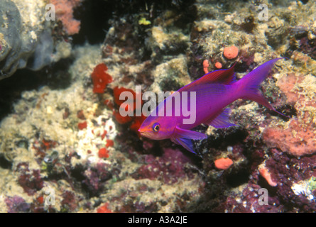 Male Purple Anthias - Stock Photo