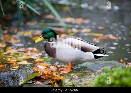 Male Mallard duck posing on a rock - Stock Photo