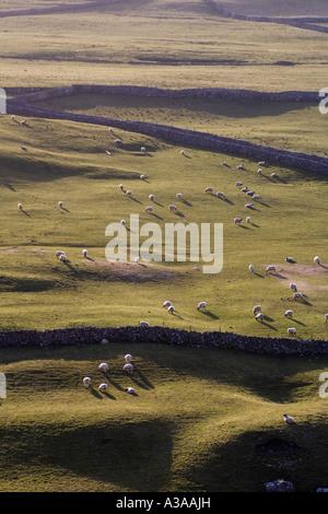 Sheep on hillside, Yorkshire Dales National Park, Yorkshire, UK