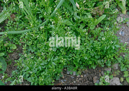 hairy bittercress growing as weed in garden - Stock Photo