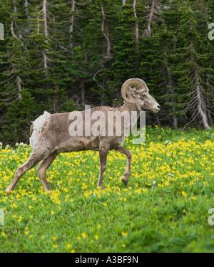 Bighorn Sheep Logan Pass Glacier National Park Montana - Stock Photo