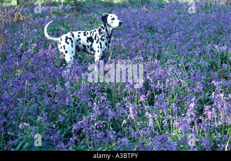 dalmatian dog standing in bluebell wood - Stock Photo