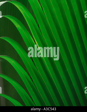 Palm fronds in Valle De Mai National Park on Praslin Island in the Seychelles - Stock Photo