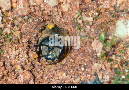 Mining Bee. Andrena sp. At nest on ground - Stock Photo