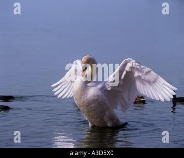 mute swan shaking in water / Cygnus olor - Stock Photo