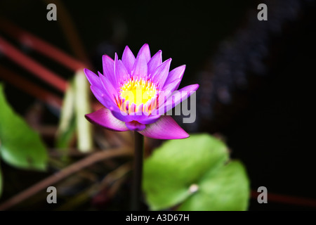 Close up landscape detail of blue water lily flower, the national flower of Sri Lanka and favourite offering in - Stock Photo