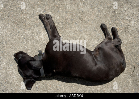 Black Labrador dog asleep on tarmac road in sunshine - Stock Photo