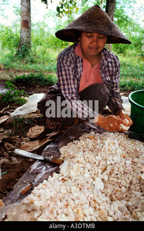 Indonesian woman working with cacao fresh beans  in a plantation .Glenmore village East of Java Indonesia - Stock Photo