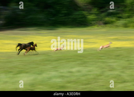 Mare and foal chasing two White Tail Deer on Thoroughbred Horse Farm In Chester County, Pennsylvania, USA - Stock Photo