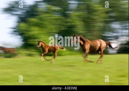 Spirited Mare And Foal Running On Thoroughbred Horse Farm, Chester County, Pennsylvania, USA - Stock Photo