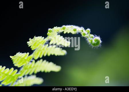 Fern shoots (Pteridium aquilinum) - Stock Photo