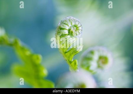 Fern shoot (Pteridium aquilinum) - Stock Photo