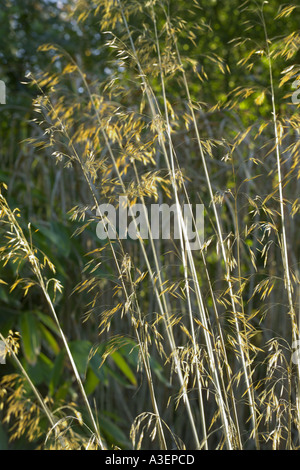 Stipa gigantea giant Oat Grass in winter light - Stock Photo