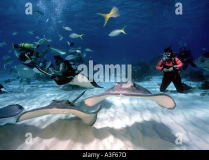 underwater, stingray city, cayman islands, stingrays, diver - Stock Photo